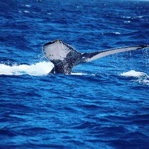 沖縄の海でホエールウオッチング!